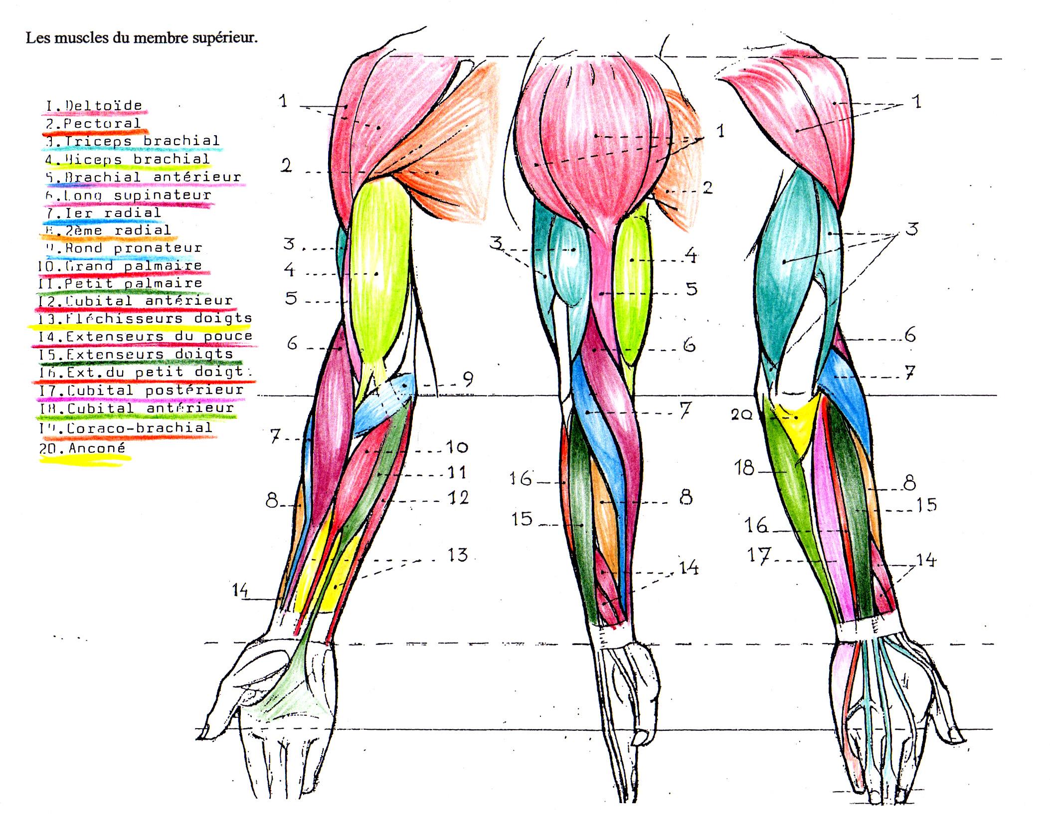 anatomie myologie du bras et du visage tykayn blog. Black Bedroom Furniture Sets. Home Design Ideas